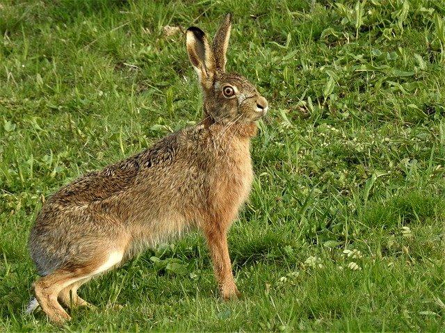 vykulený zajíc